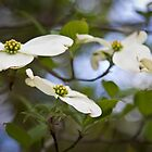dogwood blooms  by KSKphotography