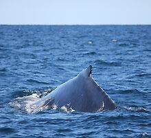 Humpback Whale by Nick Delany
