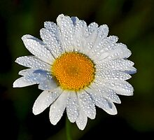 Fresh as a Daisy by Silverroses282