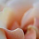 Petals I by KirstyStewart