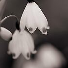 Snow Drops II by KirstyStewart