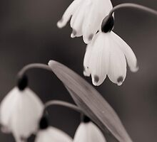 Snow Drops III by KirstyStewart