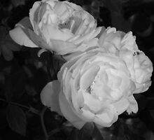 Rose in monocrome by John Witte