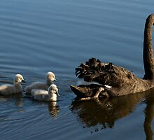 Swan Sanctuary by byronbackyard