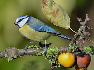 Blue tit - II by Peter Wiggerman