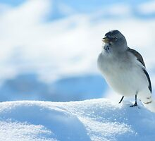 Gorgeous bird on the mountain peaks skiing by nadinemoore
