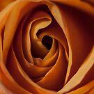 rose II by jude walton