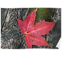 Red Maple Leaf and Moss Poster