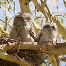 First Day On The Big Branch  Baby Tawny Frogmouth  by Kym Bradley