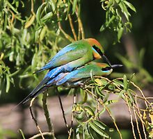 Coupulating  Rainbow Bee Eaters  by Kym Bradley