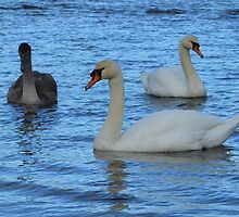 Pair of Adult Swans with Juvenile by adrianwale