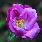 Shrub Rose 'Rhapsody in Blue' by Dency Kane