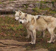 Arctic Wolves - Parc Omega, Quebec by Josef Pittner