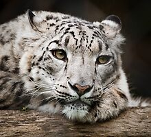 Snow Leopard by Josh Tagi