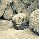 Sleeping Giant Tortoise by tropicalsamuelv
