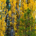 Yellow Poplars by BGSPhoto