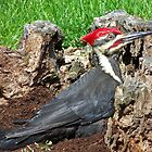 Pileated Woodpecker by William Brennan
