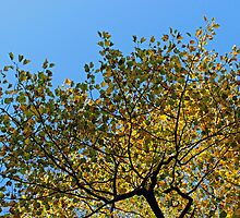 Tulip Tree in the Autumn by Avril Harris