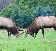 Young Bull Elk Sparring by Geno Rugh