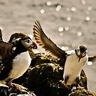Puffins, Isle of May, Scotland by Newhaven