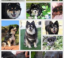 Finnish Lapphund Club of Victoria 2014 by FLCV