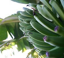 Bananas of Gran Canaria by Lex Thoonen