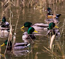 2013 Oct 28 Mallard Drake's by Rick  Grisolano Photography LLC