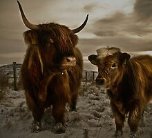 Highland Cows by Newhaven