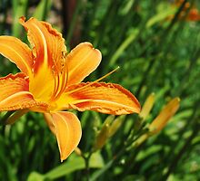 Wild Orange Lily by jojobob