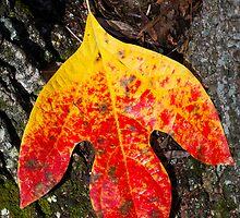 Single Autumn Sassafras Leaf by Kenneth Keifer