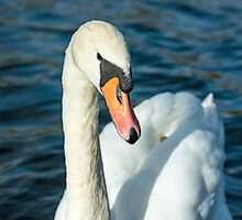 Mute Swan Close Up by Nick Jenkins
