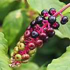Pokeweed Berries by Linda  Makiej