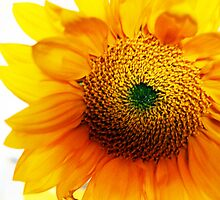 Sunflower by Clickography