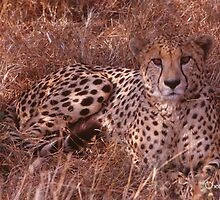 Cheetah Stare by KurtKeller