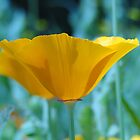 Eschscholzia Californica - California Poppy by Barrie Woodward