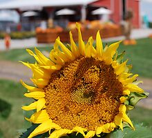 Sunflower Farm by Kieta Mall Skoglund