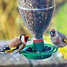 Goldfinch gossip by missmoneypenny