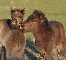 Two Shetland foals playing by fenwickstud