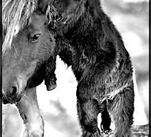 Shetland Mare and Foal in Black and White by fenwickstud