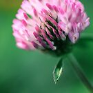 Clover by Alex Volkoff