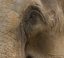 Elephant eyes by ensell