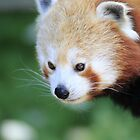 Red Panda by ensell