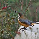 Eastern Spinebill by mosaicavenues