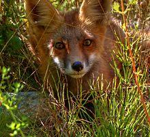 Sly Fox by JamesA1