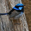 Superb Fairywren by Tom Newman
