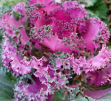 Ornamental cabbage by Ana Belaj