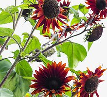 Multiple Red Sunflowers by studiojanney