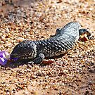 Purple tongued lizard by Ian Berry