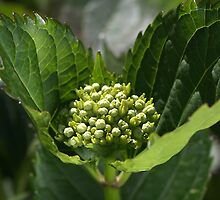 Green Buds Of Hydrangea by Joy Watson