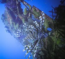 Lionfish on B25 Bomber - Madang, Papua New Guinea by Stephen Permezel